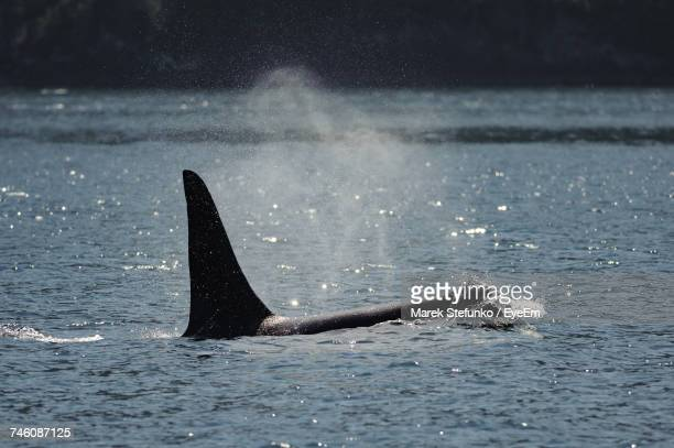 view of whale swimming in sea - marek stefunko stock photos and pictures