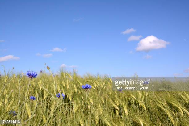 View Of Wheat Field Against Blue Sky