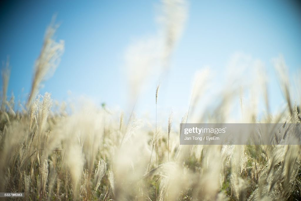View Of Wheat Field : Foto stock