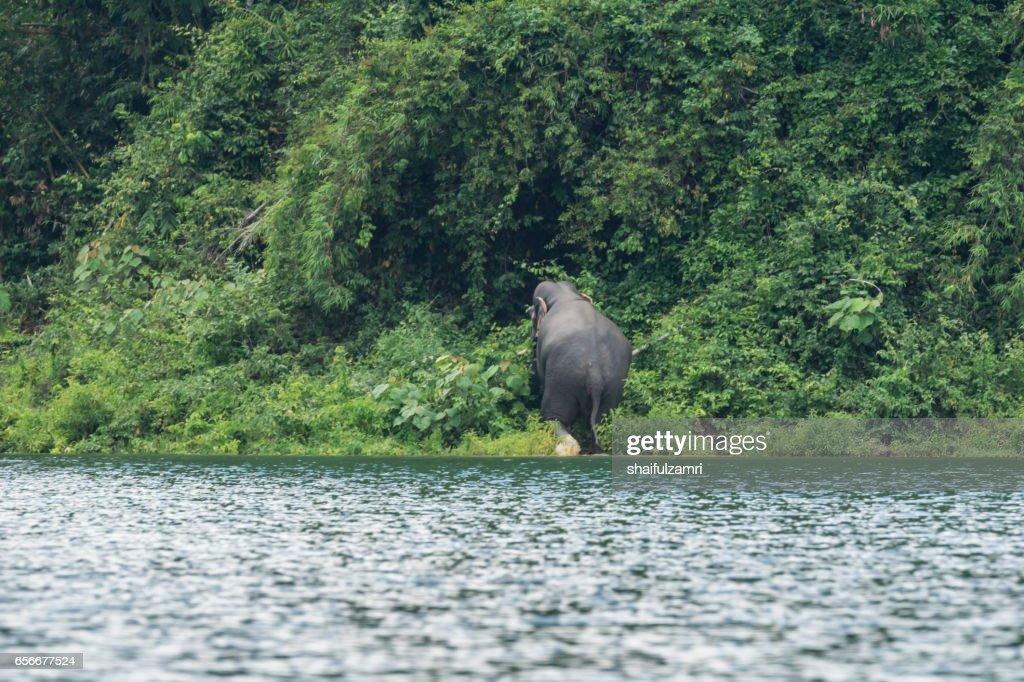 View of wild elephant crossing the lake in Royal Belum State Park, Perak, Malaysia. : Stock Photo