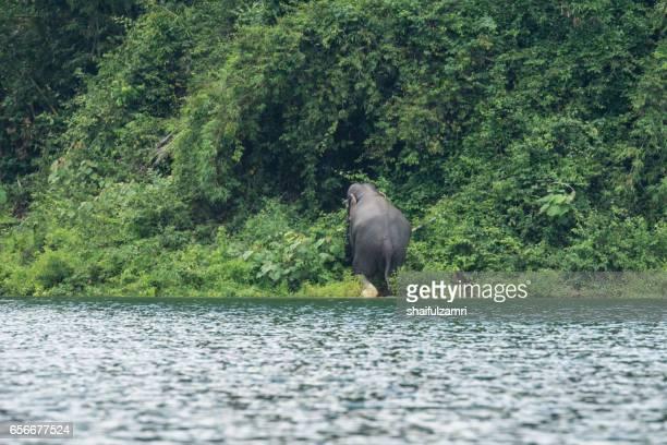 view of wild elephant crossing the lake in royal belum state park, perak, malaysia. - shaifulzamri bildbanksfoton och bilder