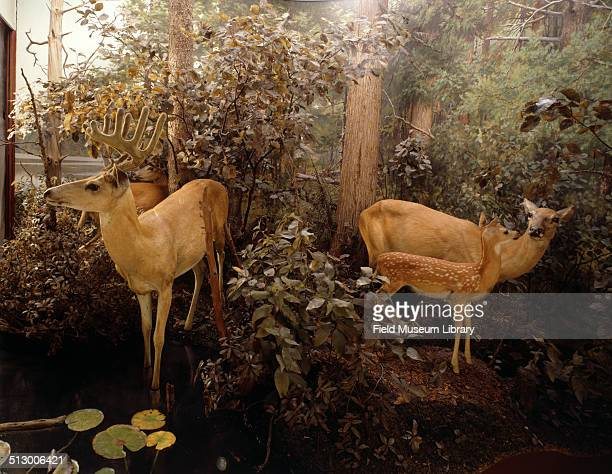 View of Winter White Tailed deer depicted in the Four Seasons of the Deer diorama or group at the Field Museum August 12 1953 Taxidermy and...