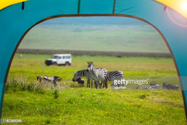 view of zebra and 4x4 jeep from inside a tent in serengeti national park, tanzania. - tanzania stock pictures, royalty-free photos & images