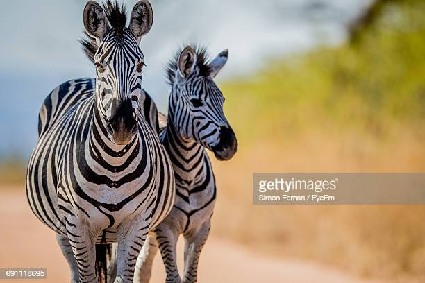 View Of Zebras Standing Side By Side