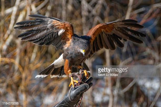 view ofharris hawk (parabuteo unicinctus) - harris hawk stock photos and pictures