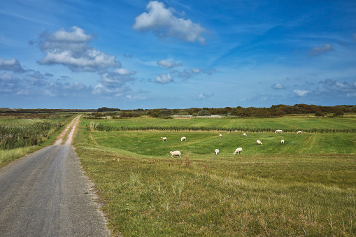 View on integral nature reserve on dutch island Texel with road leading through meadows and flock of sheep freely grazing in front of blue summer sky 1186248235
