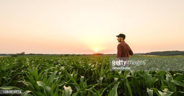 view on man on corn field - agriculture stock pictures, royalty-free photos & images