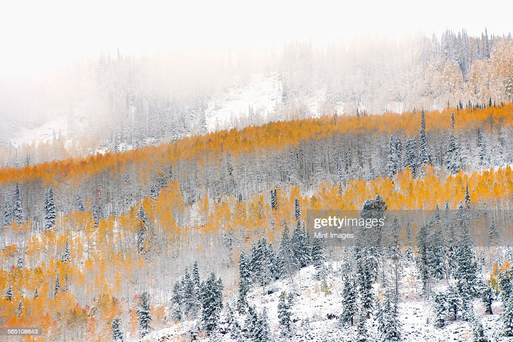 View over aspen forests in autumn, with a layer of vivid orange leaf colour against pine trees.