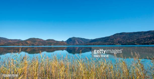 View over the lake with reeds, water reflection, Walchensee, Upper Bavaria, Bavaria, Germany