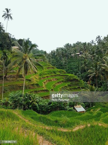 view over the rice terraces of tegalalang at bali,indonesia - reisterrasse stock-fotos und bilder