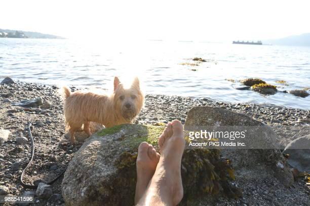 view past man's legs to norfolk terrier dog - norfolk terrier photos et images de collection