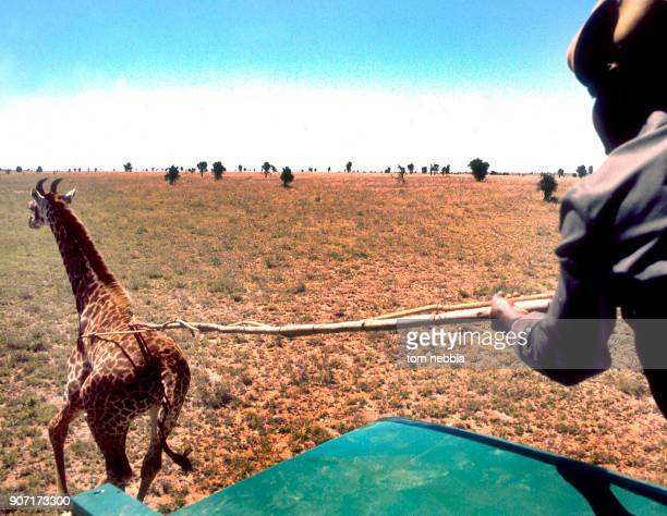 View past the shoulder of a members of the Tanzanian Wild Life Authority as he captures a giraffe Tanzanina 1980 The animal was designated for export...