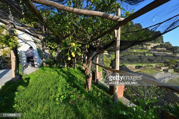 A view shows a lemon orchard at the 'Costieragrumi De Riso' traditional lemon growing company set on a typical terraced garden on the Amalfi coast on...