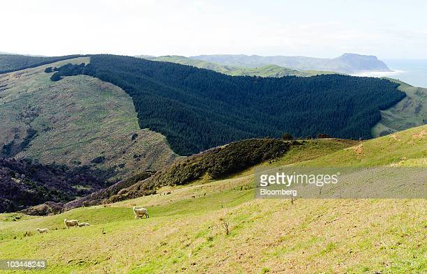 A view shows a stand of established pine trees background and several sheep grazing foreground on Edwyn Kight's farm Akitio Station in Dannevirke...