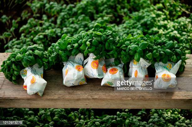 A view shows bunches of freshly hand picked basil in a greenhouse of the Azienda Agricola Ruggero Rossi a familyrun basil grower specialised in the...