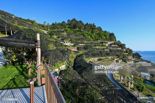 A view shows lemon orchards at the 'Costieragrumi De Riso' traditional lemon growing company set on typical terraced gardens on the Amalfi coast on...