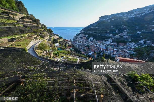 TOPSHOT A view shows lemon orchards at the 'Costieragrumi De Riso' traditional lemon growing company set on typical terraced gardens on the Amalfi...