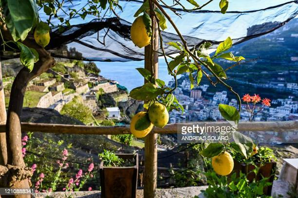 TOPSHOT A view shows lemon trees and orchards at the 'Costieragrumi De Riso' traditional lemon growing company set on typical terraced gardens on the...