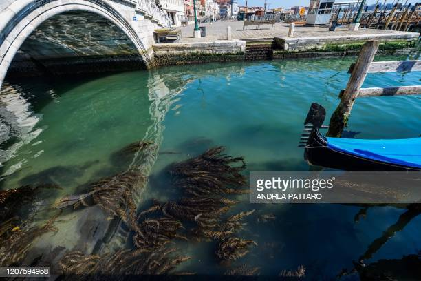 A view shows seaweed in clear waters in Venice on March 18 2020 as a result of the stoppage of motorboat traffic following the country's lockdown...