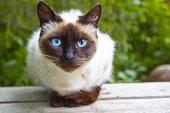 View Siamese Cat