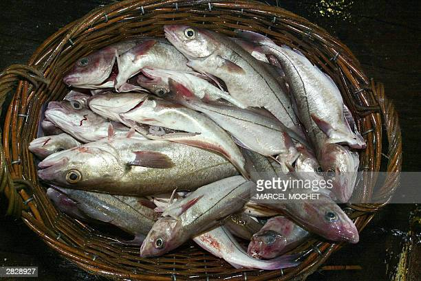 View taken December 2003 of a basket full of haddock in the French trawler Eric Vincent during a twoweek expedition in the SouthIrish Sea Vue prise...