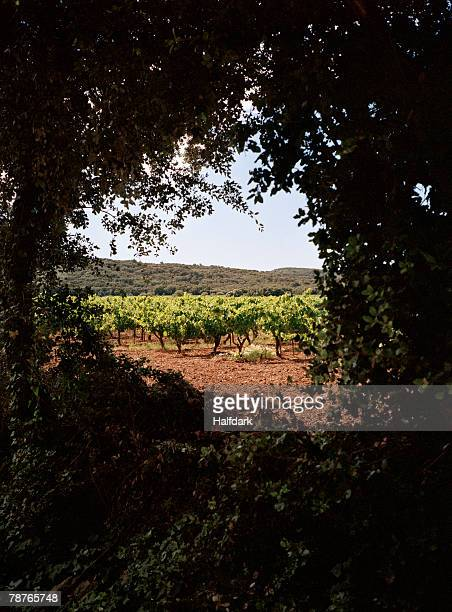 View through trees branches of a vineyard