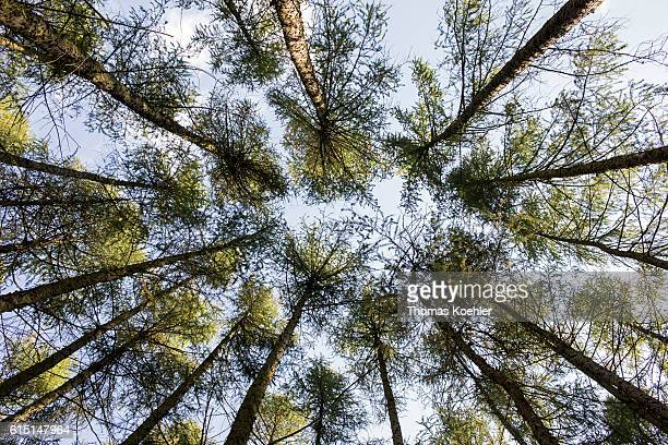 View to the tree tops of a pine forest in the national park Unteres Odertal on October 02 2016 in Gartz Germany