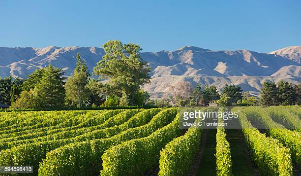 view to the wither hills from vineyard, blenheim - blenheim new zealand stock pictures, royalty-free photos & images