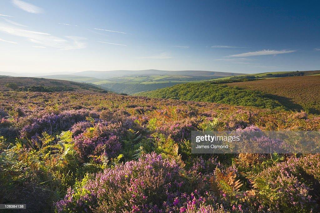 View towards Dunkery Beacon from Porlock Common. Exmoor National Park. Somerset. England. UK. : Stock Photo