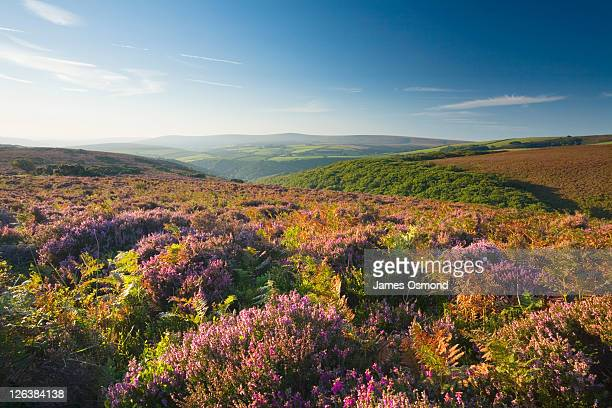 view towards dunkery beacon from porlock common. exmoor national park. somerset. england. uk. - september stock pictures, royalty-free photos & images