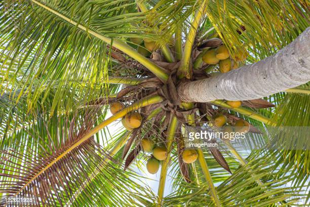 view up into the underside of a nut laden palm tree on a bright sunny day - fruit laden trees stock pictures, royalty-free photos & images