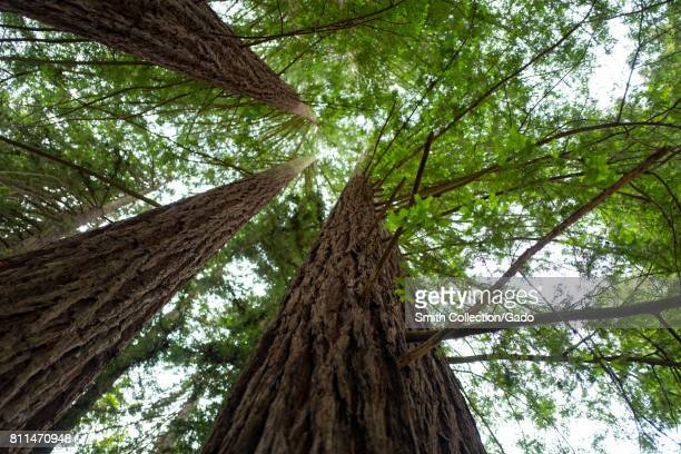 View up the trunks of mature coast redwood trees in Redwoods Regional Park Oakland California May 26 2017