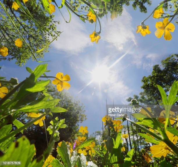 view up through grass and buttercups to blue sky - photosynthesis stock photos and pictures