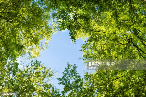 view upwards in beech forest in spring in clear sunlight with an opening against blue sky - mois de mai photos et images de collection