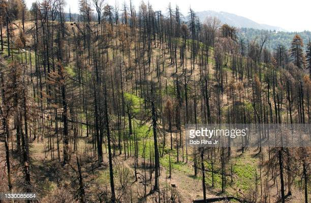 View within San Bernardino National Forest shows dying and dead trees due to the invasion of the Forest Bark Beetle, May 12, 2004 near Lake...