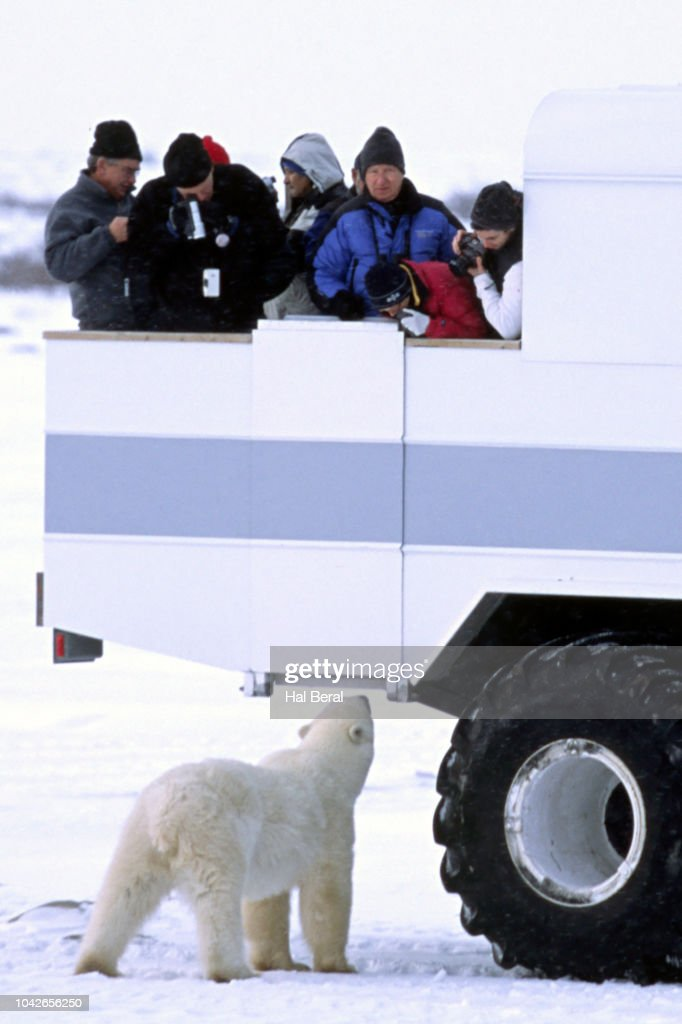 Viewing Polar Bear from a tundra buggy : Stock Photo