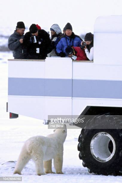 Viewing Polar Bear from a tundra buggy