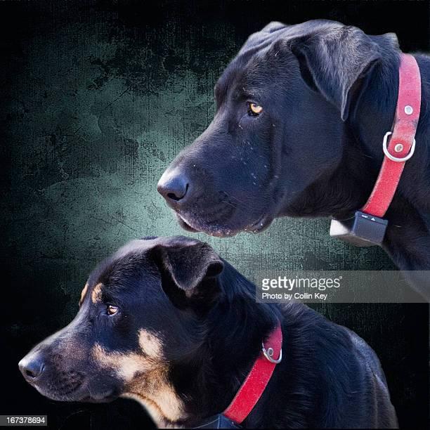 vigilant guard dogs portrait - collin key stock-fotos und bilder
