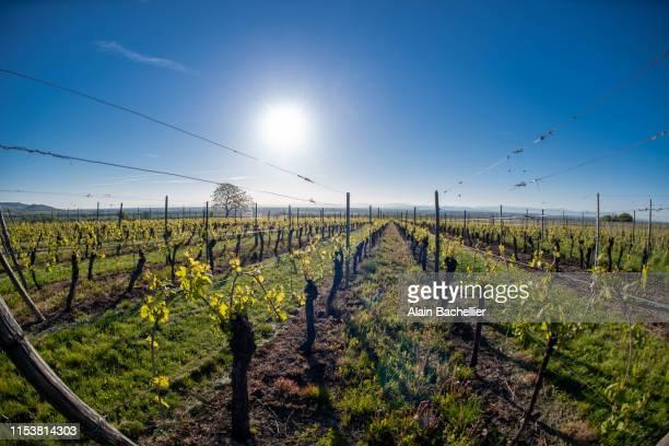 vigne - alain bachellier photos et images de collection