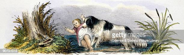 Vignette from a lithographic plate showing a dog rescuing a child from the water Taken from 'The Dog' in 'Graphic Illustrations of Animals showing...
