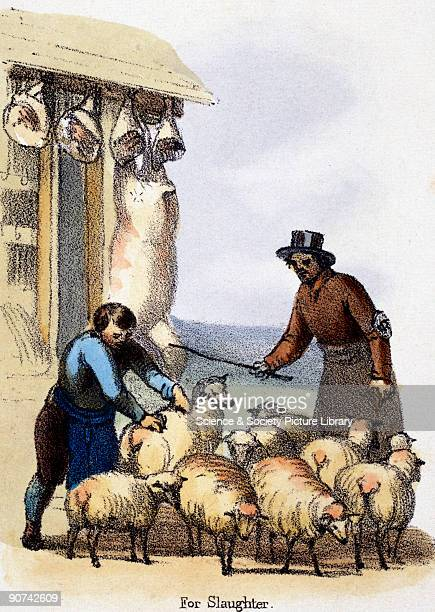 Vignette from a lithographic plate showing a flock of sheep being gathered outside the abattoir Taken from 'The Sheep' in 'Graphic Illustrations of...