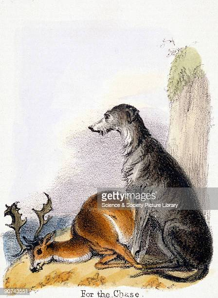 Vignette from a lithographic plate showing a hunting dog with a deer Taken from 'The Dog' in 'Graphic Illustrations of Animals showing their utility...