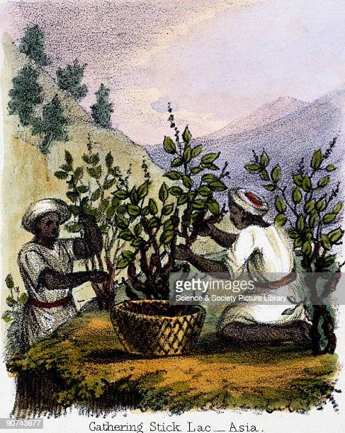 Vignette from a lithographic plate showing people collecting lac Shellac is produced from the secretions of small insects which live on acacia trees...