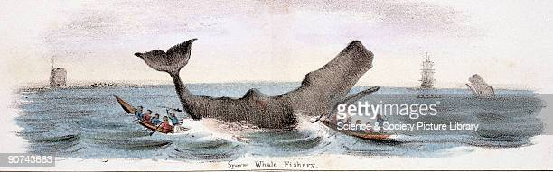 Vignette from a lithographic plate showing whale hunting Whales are hunted for their meat and for their blubber a thick layer of fat under the...