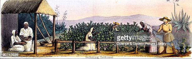 Vignette from a lithographic plate showing women collecting cochineal Cochineal or carmine is a natural red dye obtained from the dried bodies of...