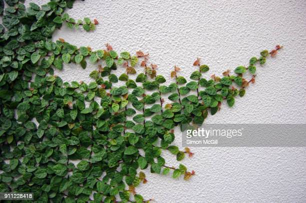 A vigorously growing climbing fig (Ficus pumila) spreads across a painted, cement-rendered exterior wall of a building
