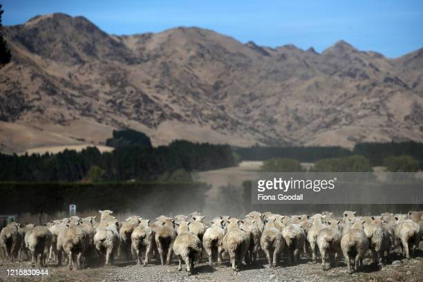 Vikki Gould moves sheep at Hermitage Station March 25, 2020 in Rotherham, New Zealand. The Gould family run a 1800 hectare sheep and beef farm in...