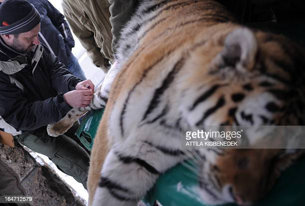 Viktor Molnar veterinarian of the Budapest zoo takes a blood sample from Siberian tiger 'Thrax' on March 27 2013 at the Budapest Zoo and Botanic...