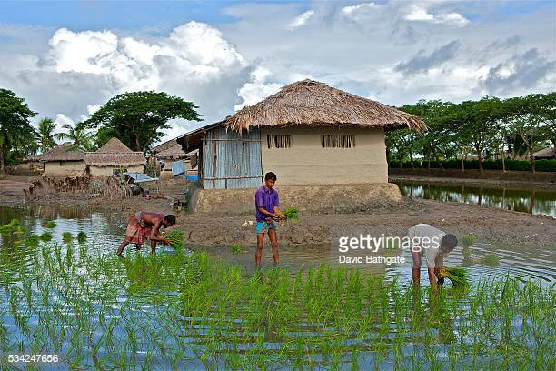 Village farmers plant the season's rice crop Even in the best of times Bangladesh seems plagued by catastrophe A majority farming base extreme...