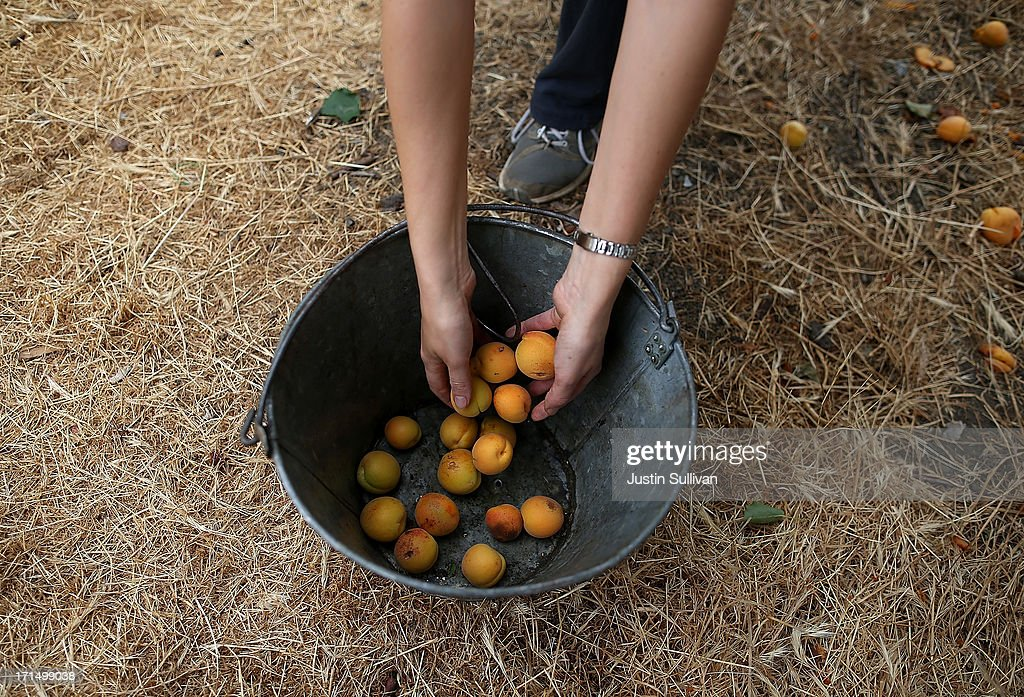 Village Harvest volunteer Bolina Zapreyeva from Adobe Systems, places freshly picked apricots into a bucket during the harvest of apricot trees at Guadalupe Historic Orchard on June 25, 2013 in San Jose, California. Village Harvest and other San Francisco Bay Area nonprofit groups are volunteering to pick excessive fruit from homeowners' yards and other plots of land to donate to food banks, soup kitchens and organizations that help the needy. Urban harvesting, or gleaning, aims to collect fruit that normally goes to waste after it goes unpicked and falls to the ground. Village Harvest has donated thousands of pounds of fruit to local organizations.